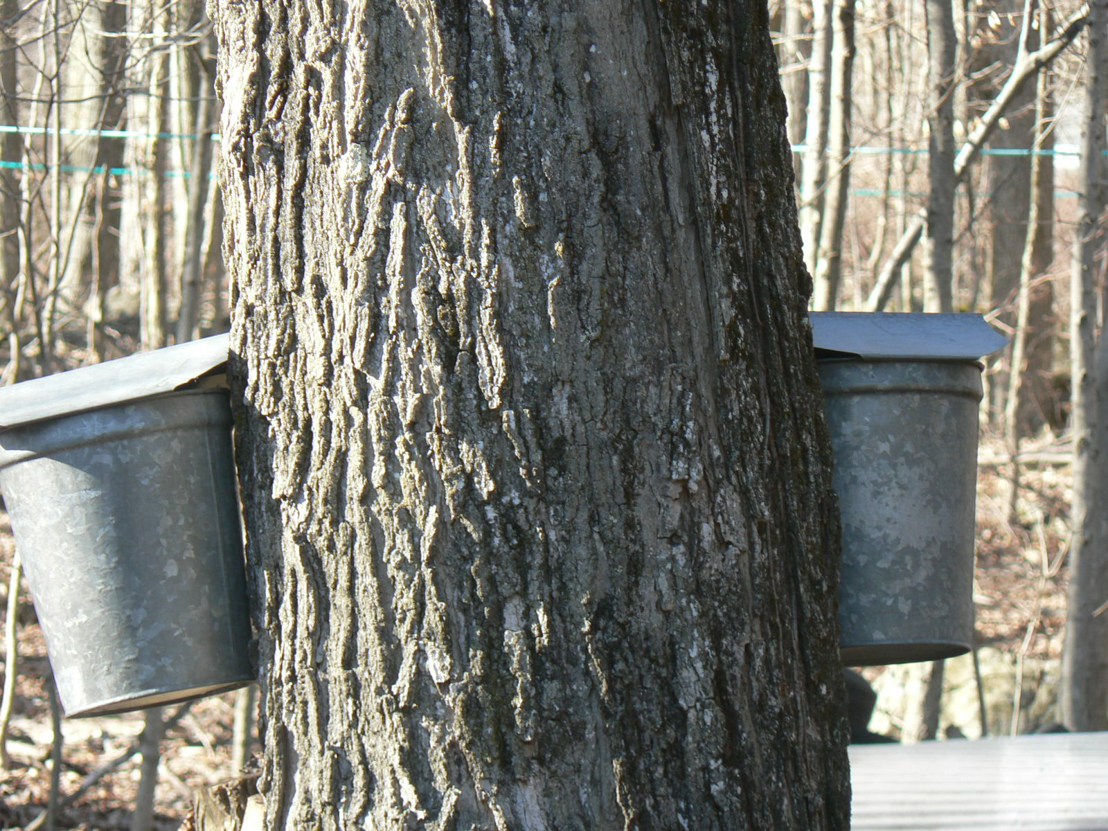 Maple Syrup Tree