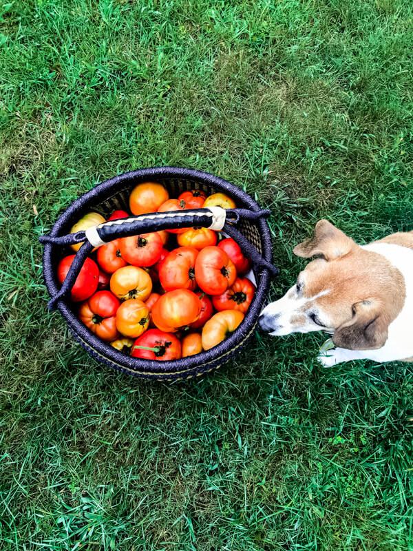 Big basket of tomatoes on green grass - Healthy Charred Gazpacho